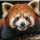 The Red Pandas